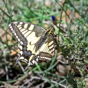 1-2018-05-12_Le_iboulon,_Mallemort_(13)_Papilio_machaon-(LeMachaon,_leGrandPorte-Queue)__JD23399